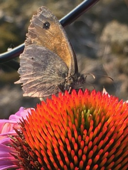 WhatsNext tuin Echinacea