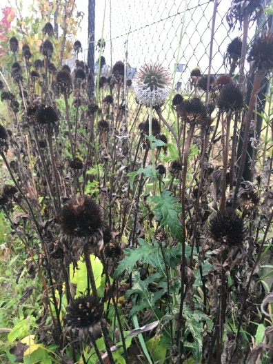WhatsNext tuin Echinacea winter (2)
